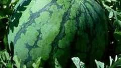 Вирощування кавунів в дачних умовах