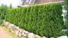 Жива огорожа - створюємо зелений паркан на дачі